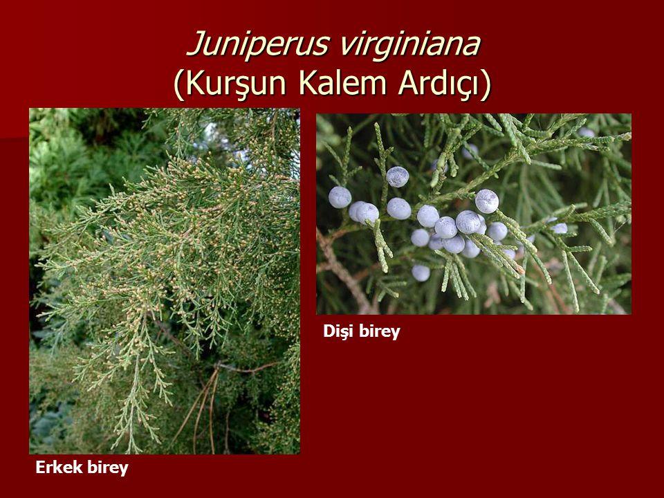 Juniperus virginiana (Kurşun Kalem Ardıçı) Erkek birey Dişi birey