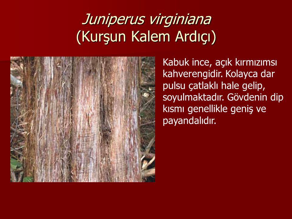 Juniperus virginiana (Kurşun Kalem Ardıçı) Kabuk ince, açık kırmızımsı kahverengidir.