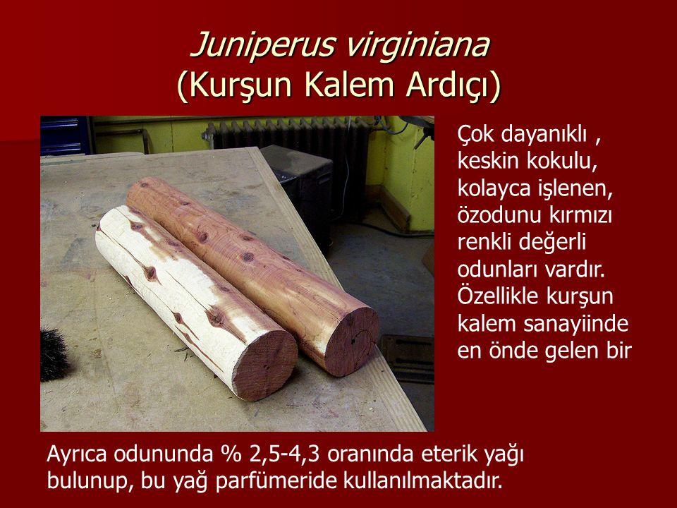 Juniperus virginiana (Kurşun Kalem Ardıçı) Çok dayanıklı, keskin kokulu, kolayca işlenen, özodunu kırmızı renkli değerli odunları vardır.