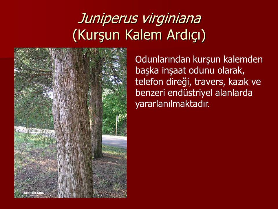 Juniperus virginiana (Kurşun Kalem Ardıçı) Odunlarından kurşun kalemden başka inşaat odunu olarak, telefon direği, travers, kazık ve benzeri endüstriyel alanlarda yararlanılmaktadır.