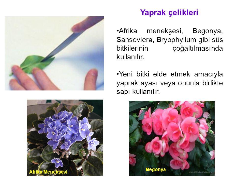 Yaprak çelikleri Afrika menekşesi, Begonya, Sanseviera, Bryophyllum gibi süs bitkilerinin çoğaltılmasında kullanılır. Yeni bitki elde etmek amacıyla y