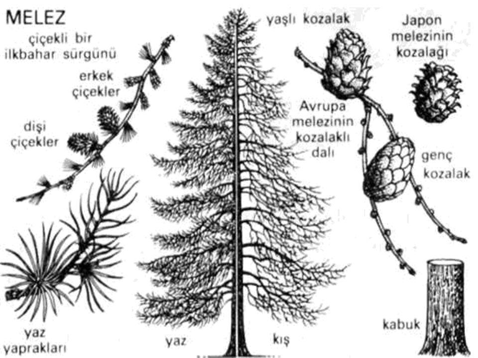 En değerli melez türlerinden biri olan Avrupa melezi (Larix decidua) ortalama 30 metreye kadar boylanabilen, kırmızımsı kahverengi, kalın ve kaba kabuklu bir ağaçtır.