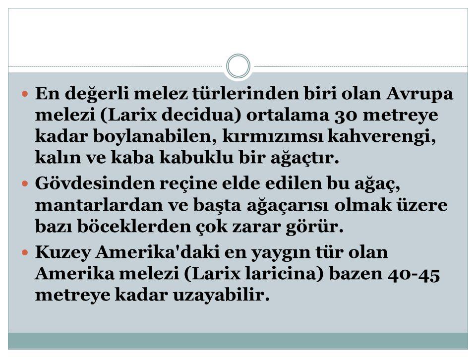 Larix Himalaica