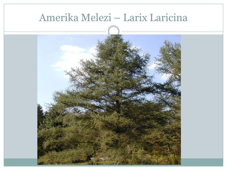 Sibirya Melezi – Larix Sibirica
