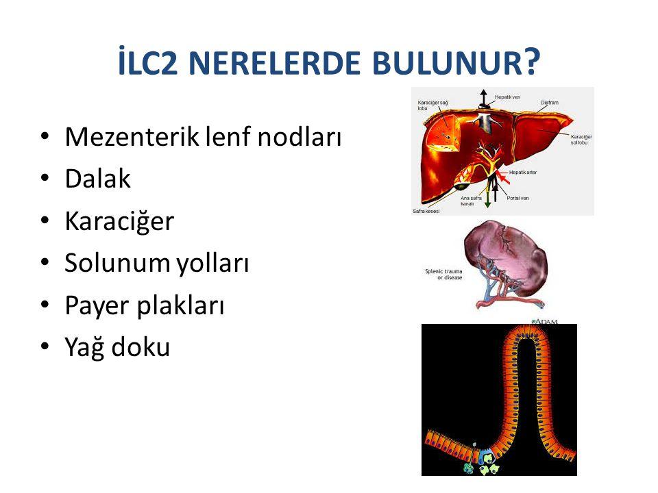 İLC2 NERELERDE BULUNUR ? Mezenterik lenf nodları Dalak Karaciğer Solunum yolları Payer plakları Yağ doku