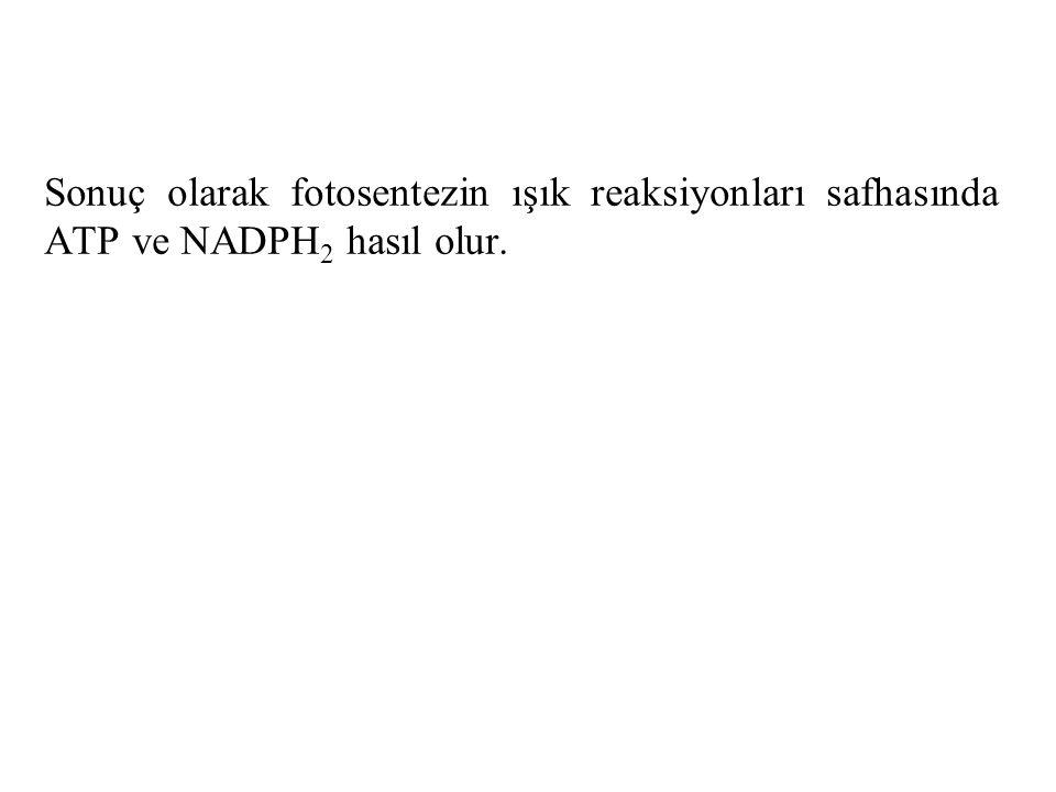 Sonuç olarak fotosentezin ışık reaksiyonları safhasında ATP ve NADPH 2 hasıl olur.