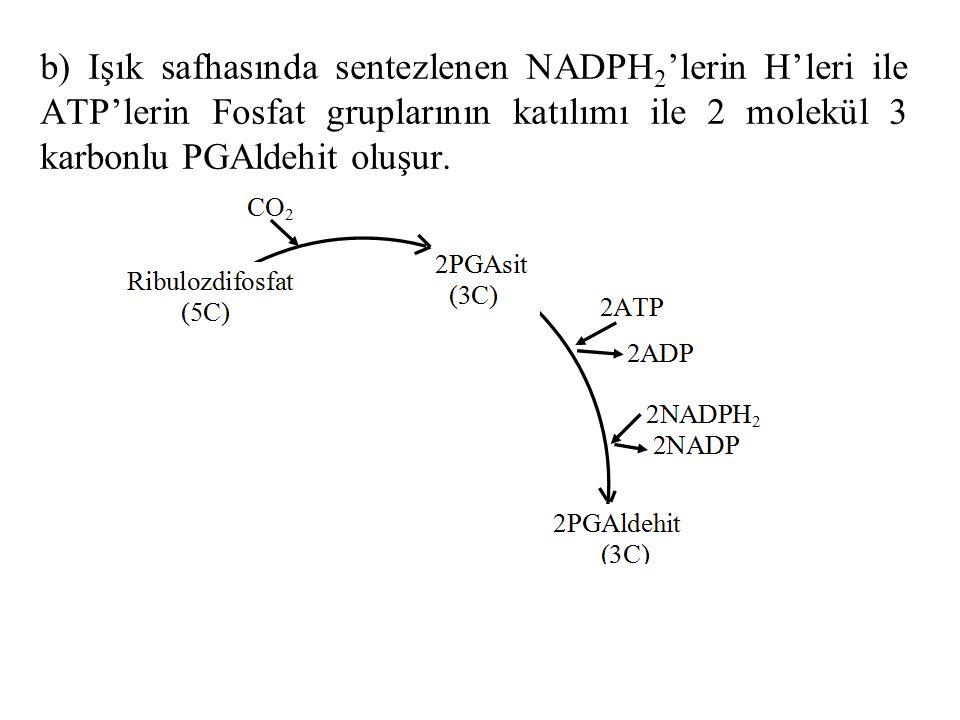 b) Işık safhasında sentezlenen NADPH 2 'lerin H'leri ile ATP'lerin Fosfat gruplarının katılımı ile 2 molekül 3 karbonlu PGAldehit oluşur.