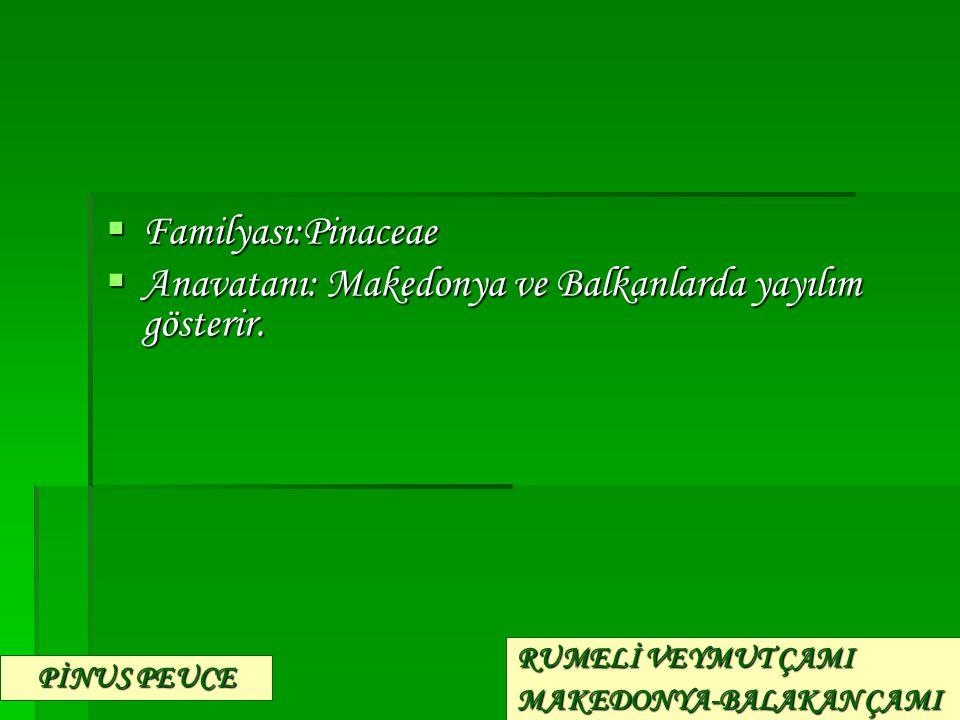  Familyası:Pinaceae  Anavatanı: Makedonya ve Balkanlarda yayılım gösterir. PİNUS PEUCE RUMELİ VEYMUT ÇAMI MAKEDONYA-BALAKAN ÇAMI