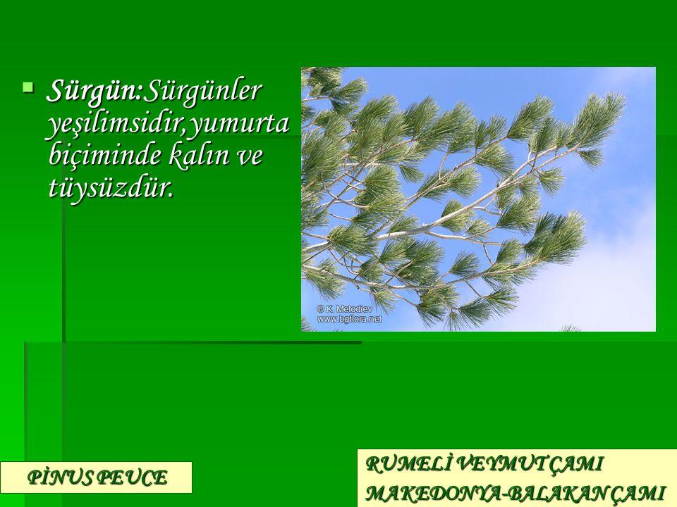  Sürgün:Sürgünler yeşilimsidir,yumurta biçiminde kalın ve tüysüzdür. PİNUS PEUCE RUMELİ VEYMUT ÇAMI MAKEDONYA-BALAKAN ÇAMI