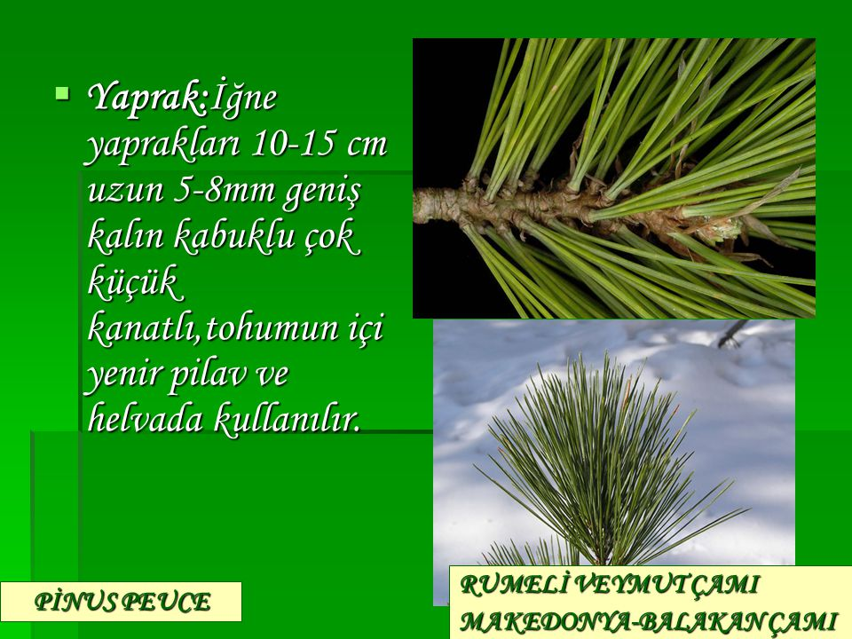  Yaprak:İğne yaprakları 10-15 cm uzun 5-8mm geniş kalın kabuklu çok küçük kanatlı,tohumun içi yenir pilav ve helvada kullanılır. PİNUS PEUCE RUMELİ V