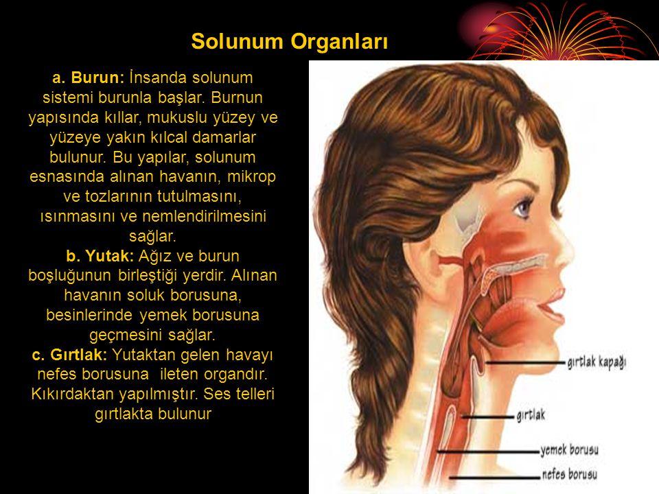 Solunum Organları a.Burun: İnsanda solunum sistemi burunla başlar.
