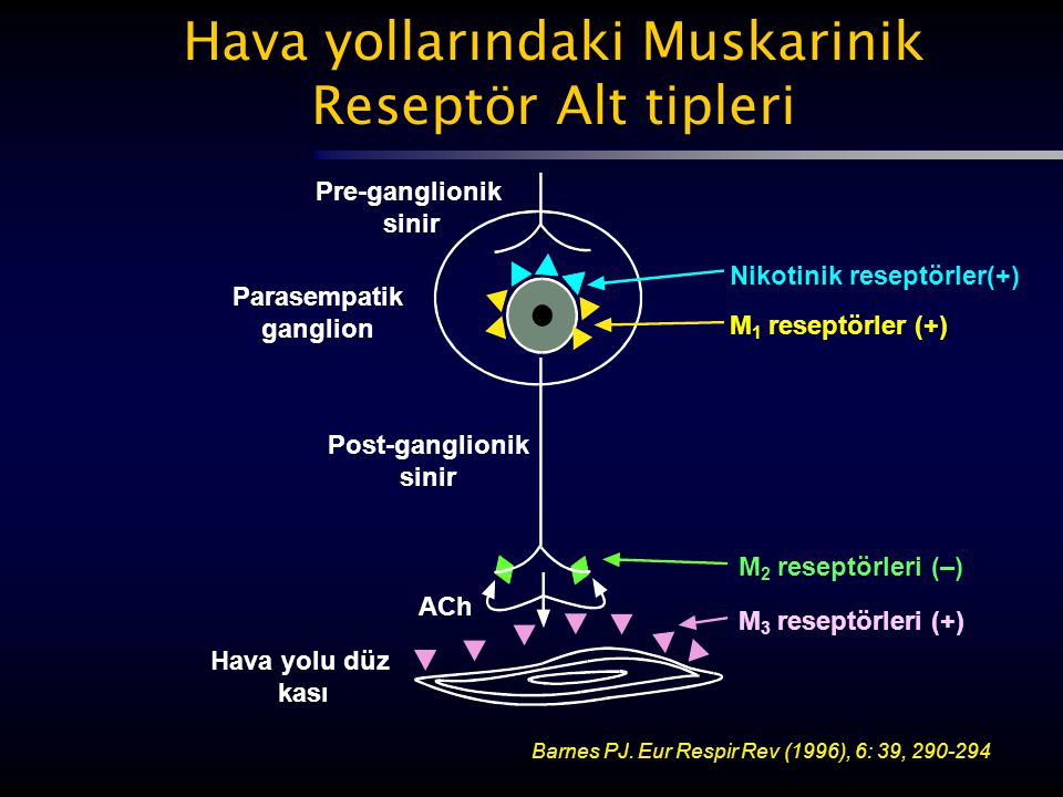 Pre-ganglionik sinir Parasempatik ganglion Post-ganglionik sinir ACh Hava yolu düz kası Nikotinik reseptörler(+) M 1 reseptörler (+) M 2 reseptörleri