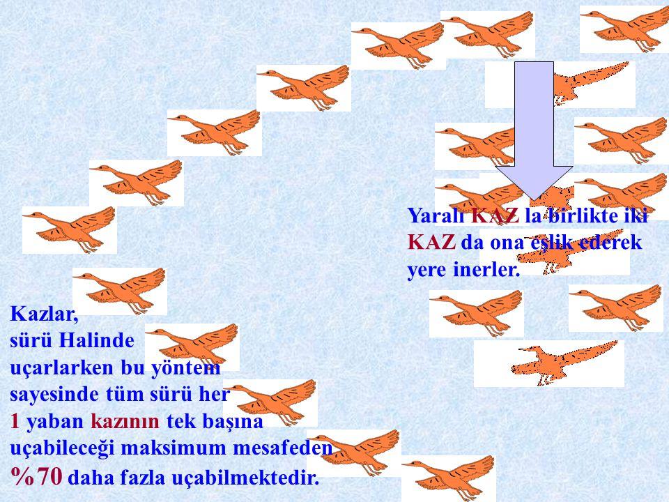 Kazlar, sürü Halinde uçarlarken bu yöntem sayesinde tüm sürü her 1 yaban kazının tek başına uçabileceği maksimum mesafeden %70 daha fazla uçabilmekted