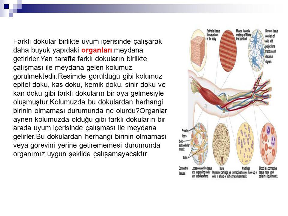 Farklı dokular birlikte uyum içerisinde çalışarak daha büyük yapıdaki organları meydana getirirler.Yan tarafta farklı dokuların birlikte çalışması ile