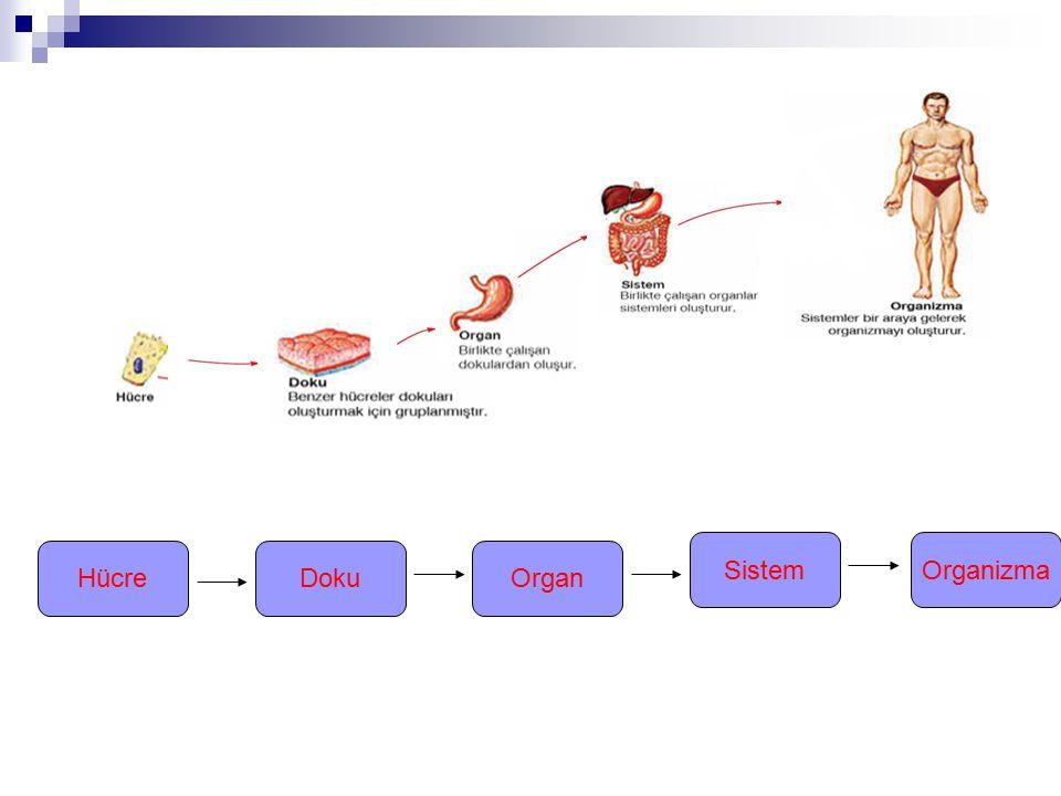 Hücre Sistem DokuOrgan Organizma