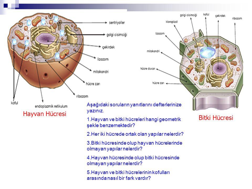 Hayvan Hücresi Bitki Hücresi Aşağıdaki soruların yanıtlarını defterlerinize yazınız. 1.Hayvan ve bitki hücreleri hangi geometrik şekle benzemektedir?