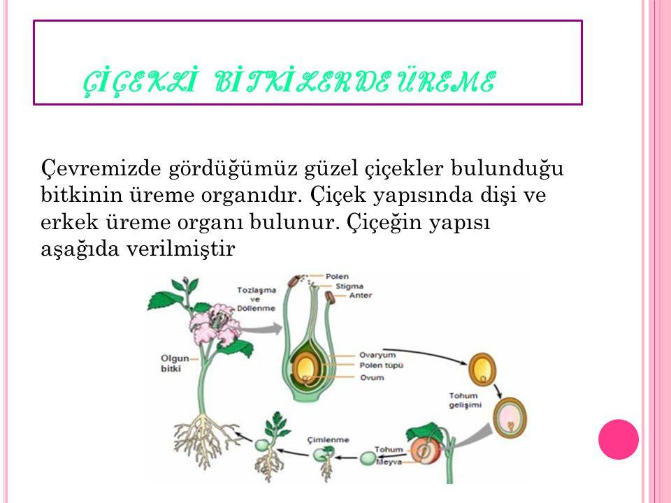 Ç İ ÇEKL İ B İ TK İ LERDE ÜREME Çevremizde gördüğümüz güzel çiçekler bulunduğu bitkinin üreme organıdır. Çiçek yapısında dişi ve erkek üreme organı bu