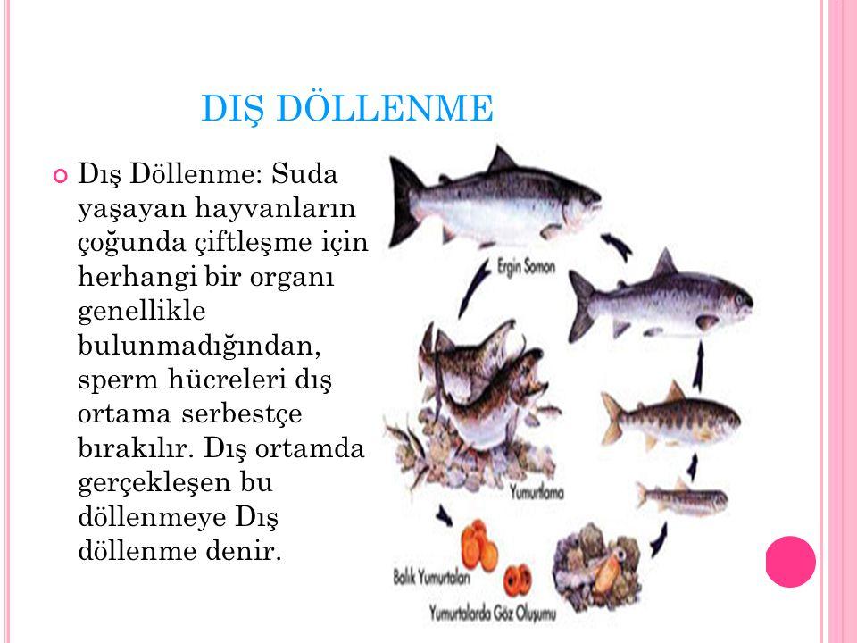 DIŞ DÖLLENME Dış Döllenme: Suda yaşayan hayvanların çoğunda çiftleşme için herhangi bir organı genellikle bulunmadığından, sperm hücreleri dış ortama