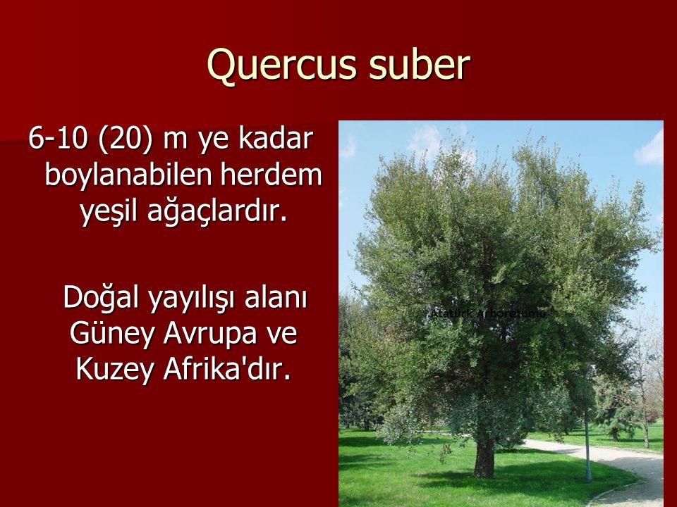 Quercus suber 6-10 (20) m ye kadar boylanabilen herdem yeşil ağaçlardır.