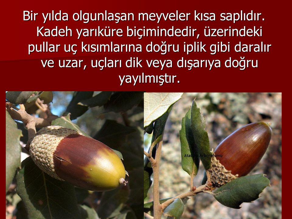 Bir yılda olgunlaşan meyveler kısa saplıdır.