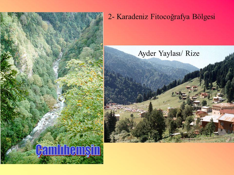 2- Karadeniz Fitocoğrafya Bölgesi Ayder Yaylası/ Rize