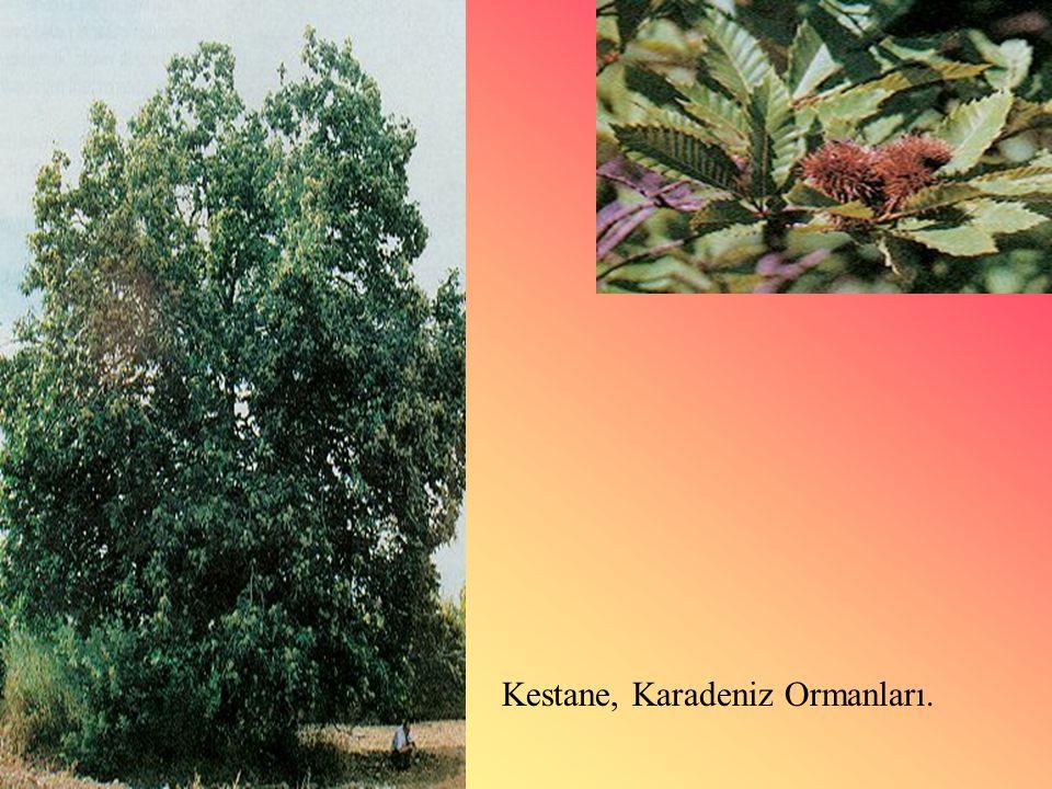 Kestane, Karadeniz Ormanları.