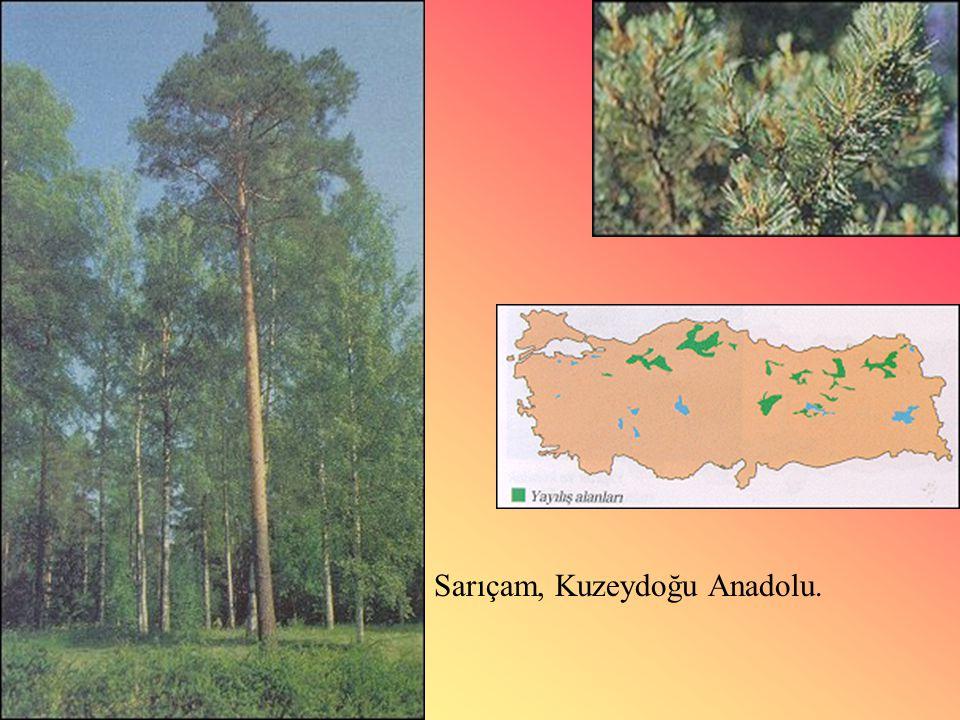 Sarıçam, Kuzeydoğu Anadolu.