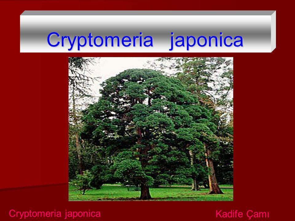 Cryptomeria japonica Kadife Çamı