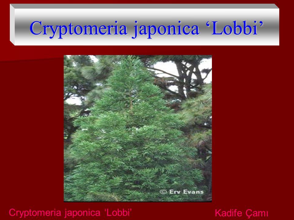 Cryptomeria japonica 'Lobbi' Kadife Çamı