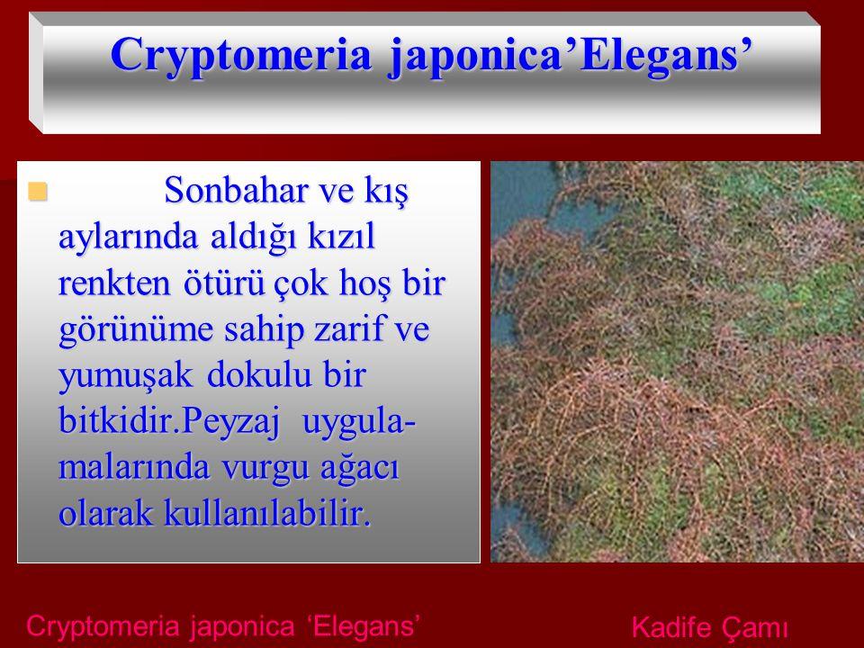 Cryptomeria japonica'Elegans' Sonbahar ve kış aylarında aldığı kızıl renkten ötürü çok hoş bir görünüme sahip zarif ve yumuşak dokulu bir bitkidir.Pey