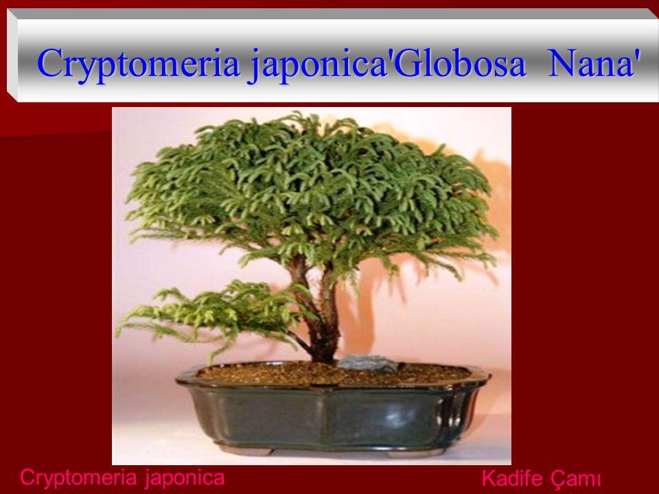 Cryptomeria japonica'Globosa Nana' Cryptomeria japonica Kadife Çamı