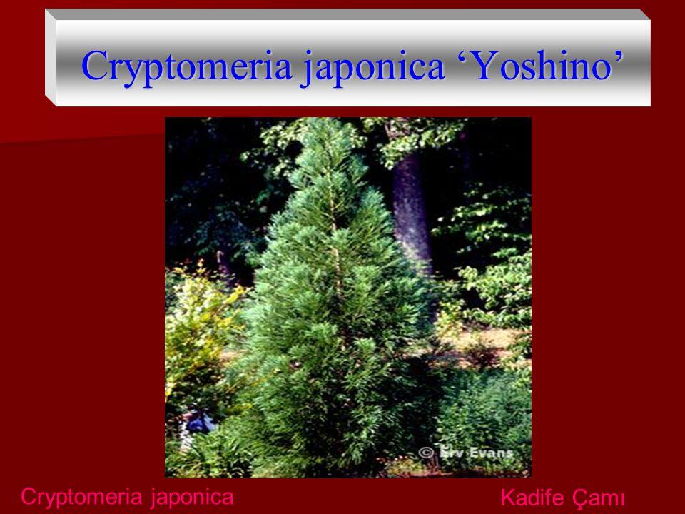 Cryptomeria japonica 'Yoshino' Cryptomeria japonica Kadife Çamı