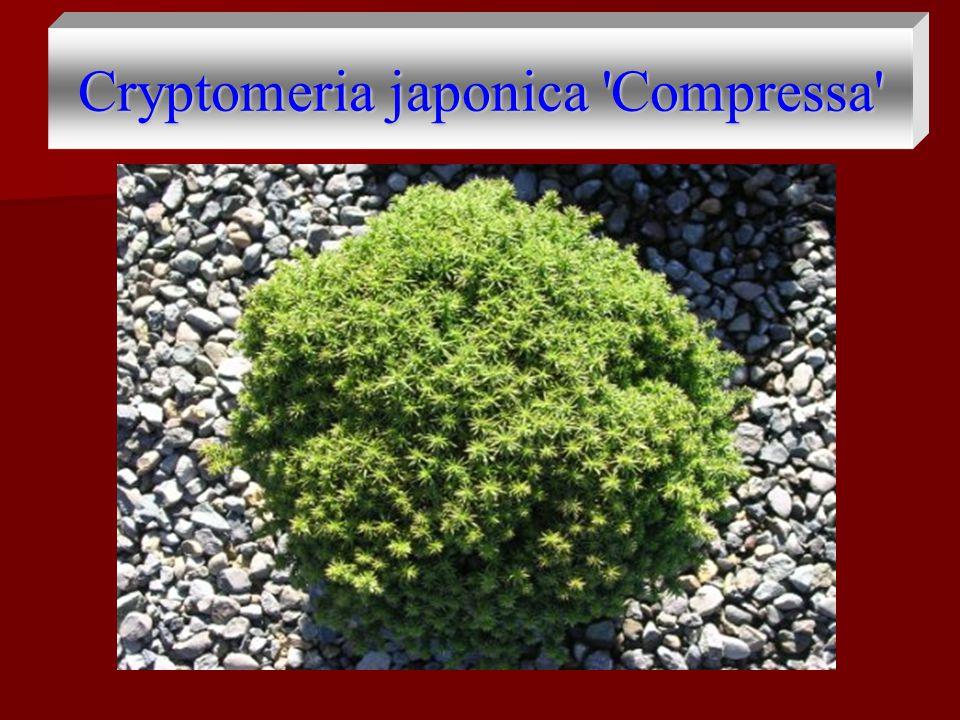 Cryptomeria japonica 'Compressa'