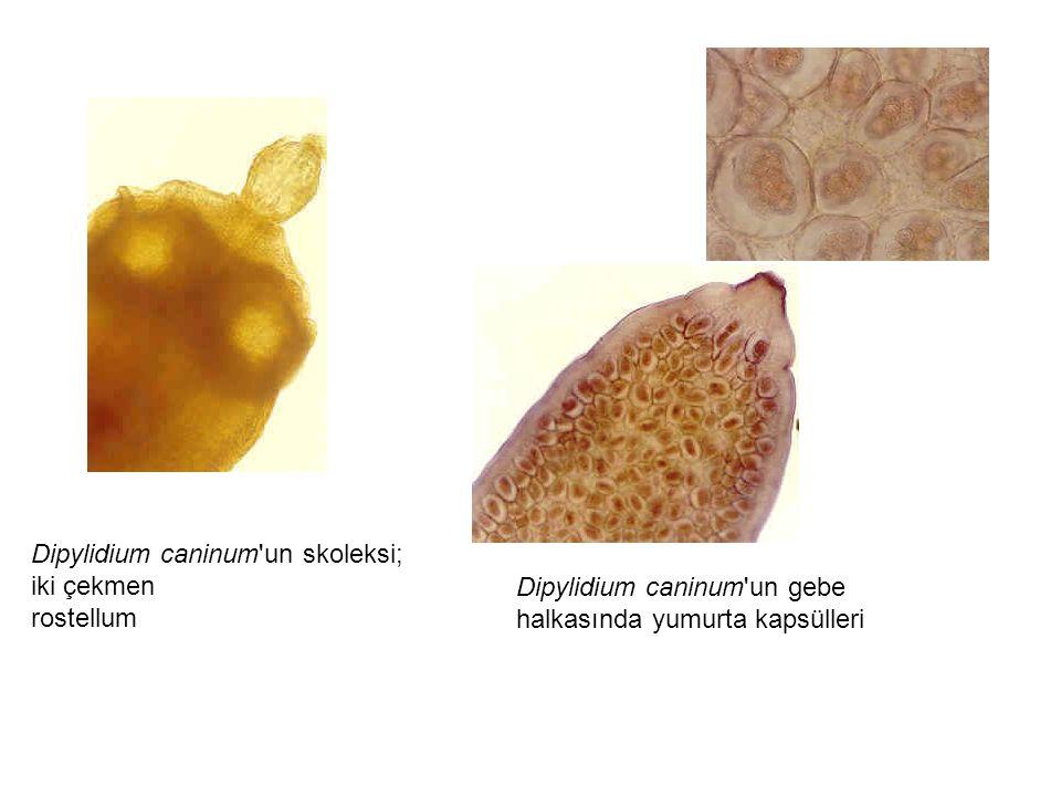Dipylidium caninum'un skoleksi; iki çekmen rostellum Dipylidium caninum'un gebe halkasında yumurta kapsülleri