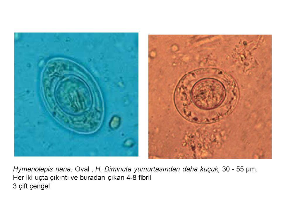 Hymenolepis nana. Oval, H. Diminuta yumurtasından daha küçük, 30 - 55 µm. Her iki uçta çıkıntı ve buradan çıkan 4-8 fibril 3 çift çengel