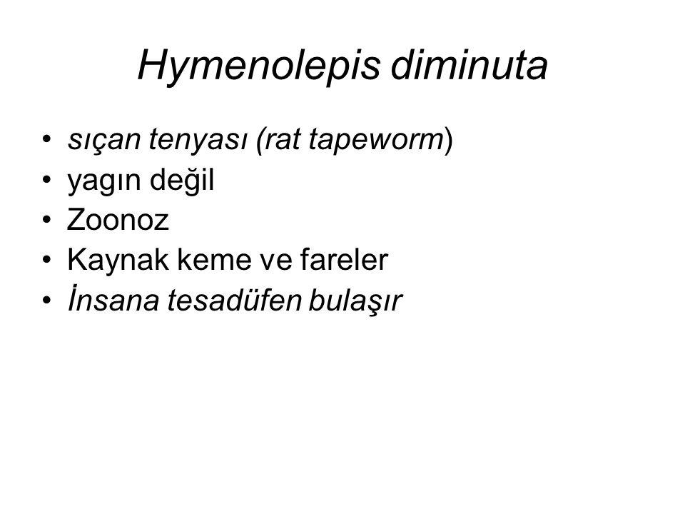 Hymenolepis diminuta sıçan tenyası (rat tapeworm) yagın değil Zoonoz Kaynak keme ve fareler İnsana tesadüfen bulaşır