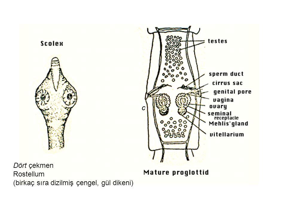 evrim Köpekler asıl konak, diğer konakları kedi ve tilkiler İnsanlar tesadüfi konaktır, özellikle infekte pireleri yutan çocuklarda görülür Kedi ve köpekle oynarken D.caninum cysticercoidleriyle enfekte kedi ve köpek pirelerinin (Ctenocephalides spp.) tesadüfen yutulmasıyla Her proglottid yumurta paketleri içerir Her pakette20 yumurta (25-30 µm ) bulunur İnce bağırsakta açılan scolex bağırsak duvarın yapışır 1 ayda erişkin haline gelir Erişkin 15-70 cm Orta derecede gastroentestinal semptomlara yol açarlar Eosinophilia yaygındır