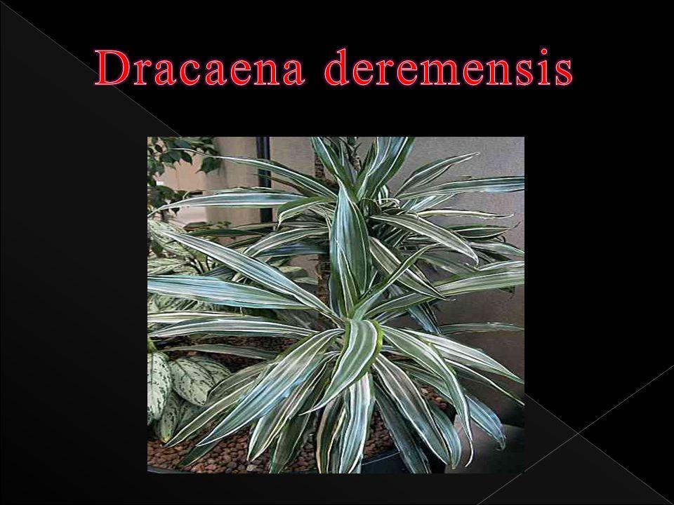 Familyası: Agavaceae Adı: Dracaena deremensis Türkçe Adı: Kardeş kanı