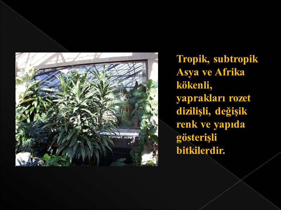 Tropik, subtropik Asya ve Afrika kökenli, yaprakları rozet dizilişli, değişik renk ve yapıda gösterişli bitkilerdir.