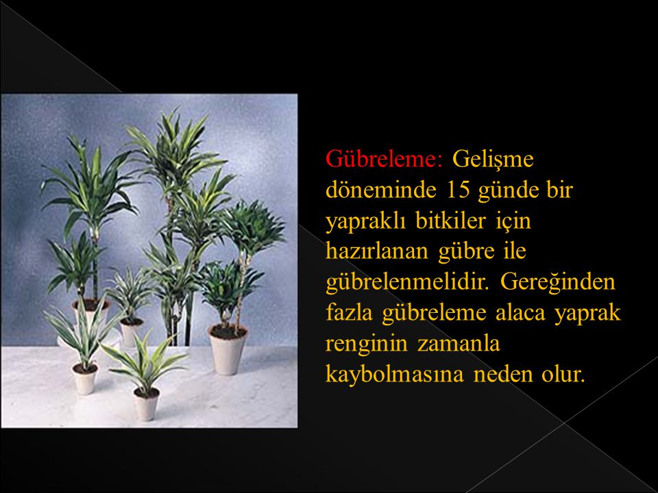 Gübreleme: Gelişme döneminde 15 günde bir yapraklı bitkiler için hazırlanan gübre ile gübrelenmelidir. Gereğinden fazla gübreleme alaca yaprak rengini