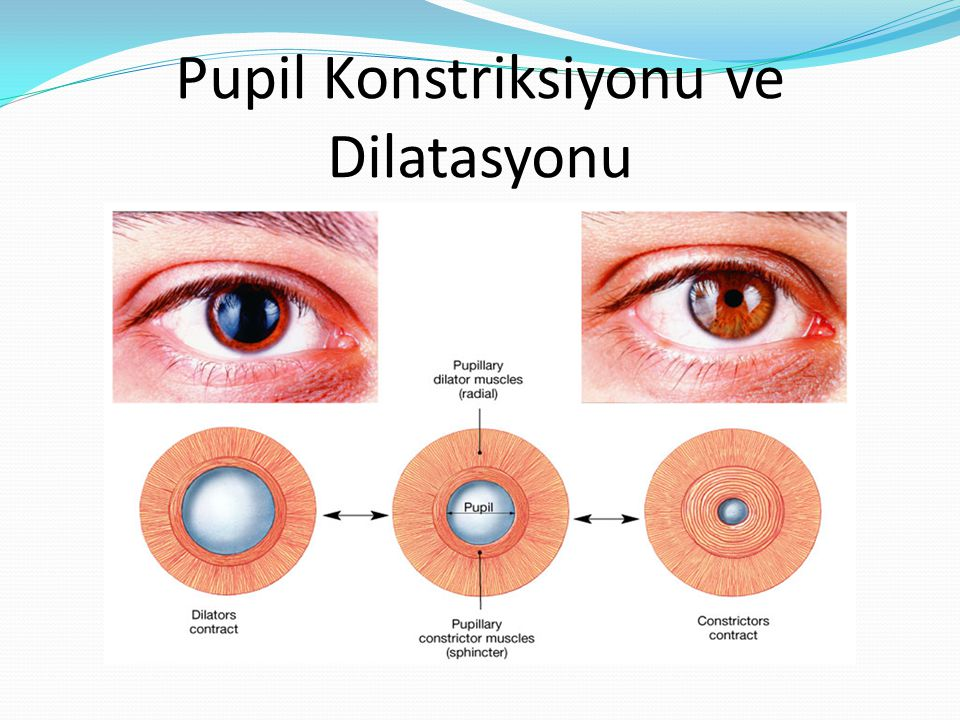 Pupil Konstriksiyonu ve Dilatasyonu