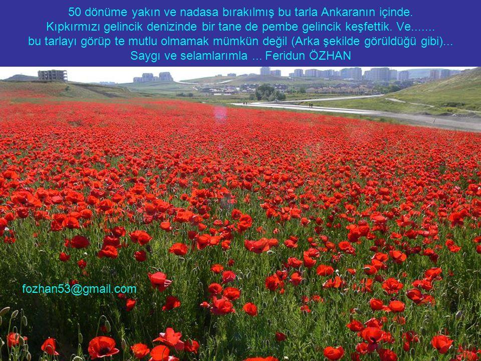 50 dönüme yakın ve nadasa bırakılmış bu tarla Ankaranın içinde.