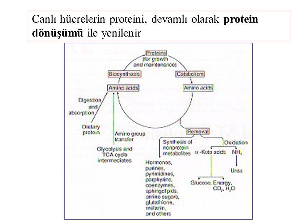 Canlı hücrelerin proteini, devamlı olarak protein dönüşümü ile yenilenir