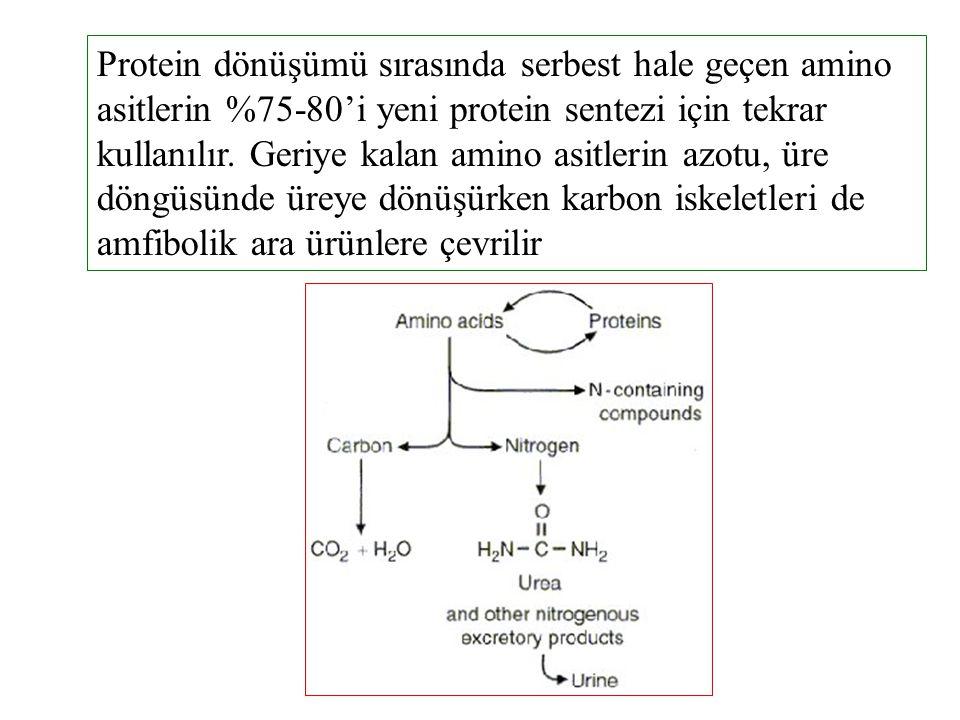 Protein dönüşümü sırasında serbest hale geçen amino asitlerin %75-80'i yeni protein sentezi için tekrar kullanılır. Geriye kalan amino asitlerin azotu