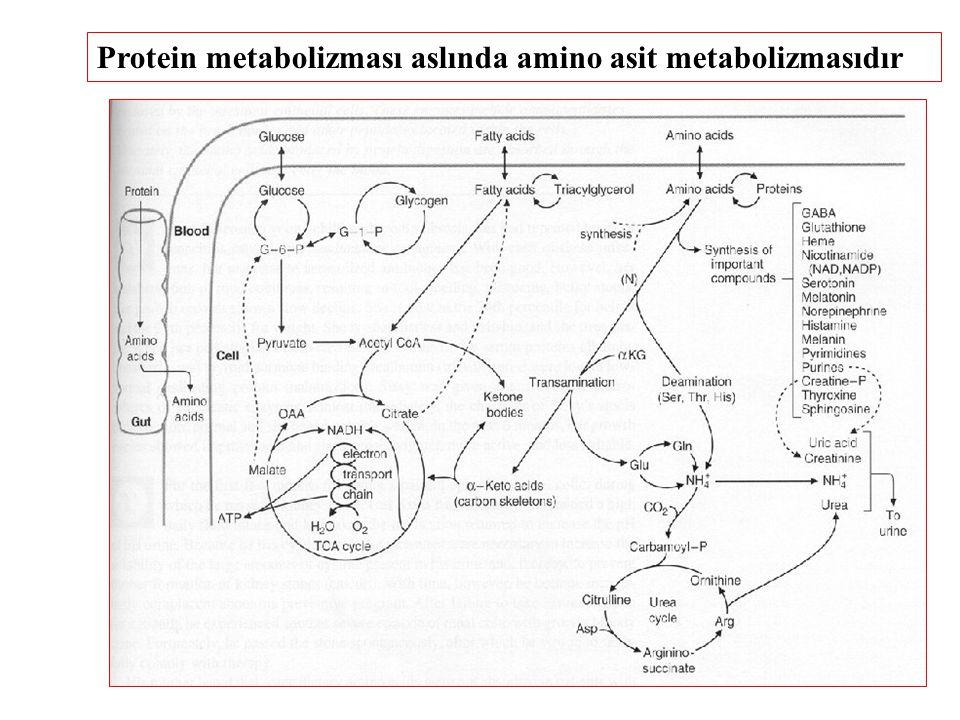Protein metabolizması aslında amino asit metabolizmasıdır