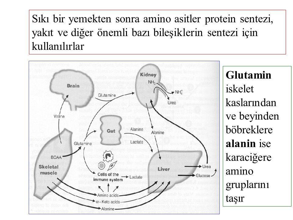Sıkı bir yemekten sonra amino asitler protein sentezi, yakıt ve diğer önemli bazı bileşiklerin sentezi için kullanılırlar Glutamin iskelet kaslarından