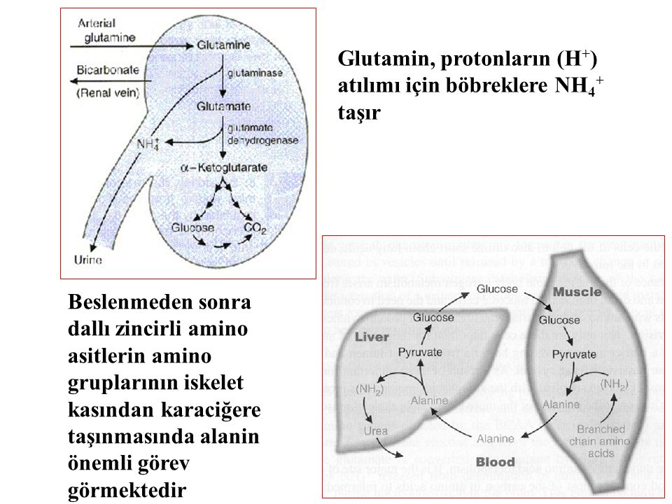 Glutamin, protonların (H + ) atılımı için böbreklere NH 4 + taşır Beslenmeden sonra dallı zincirli amino asitlerin amino gruplarının iskelet kasından