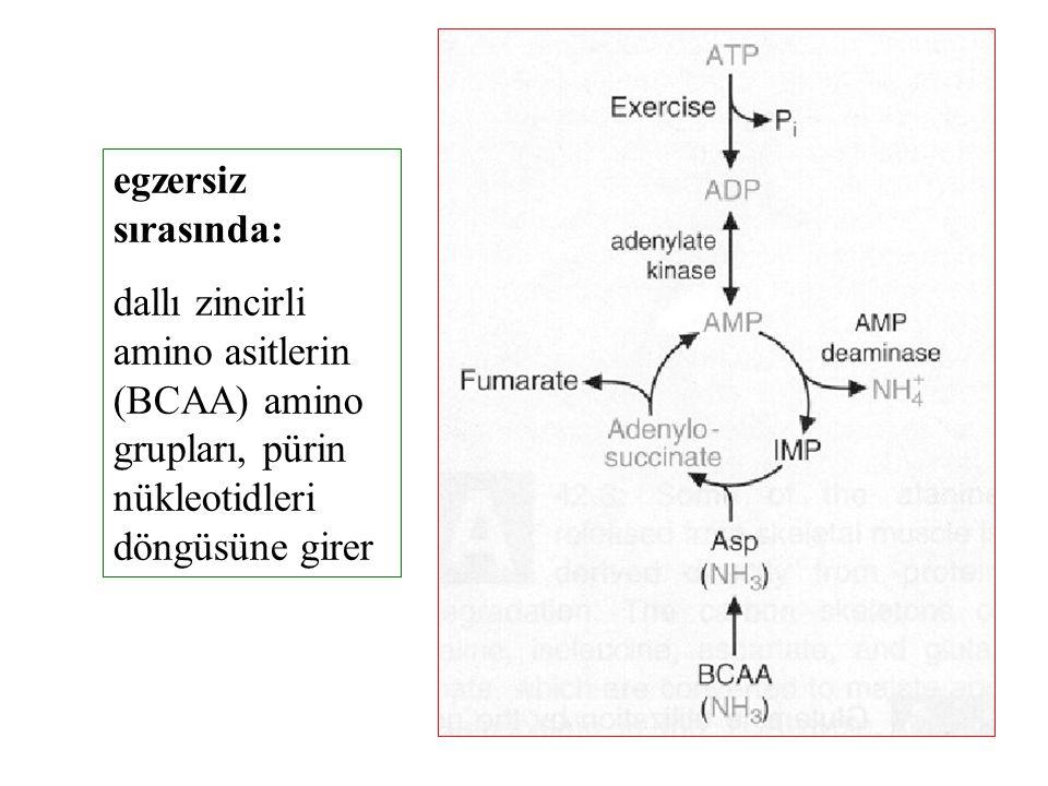 egzersiz sırasında: dallı zincirli amino asitlerin (BCAA) amino grupları, pürin nükleotidleri döngüsüne girer