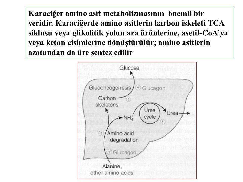 Karaciğer amino asit metabolizmasının önemli bir yeridir. Karaciğerde amino asitlerin karbon iskeleti TCA siklusu veya glikolitik yolun ara ürünlerine