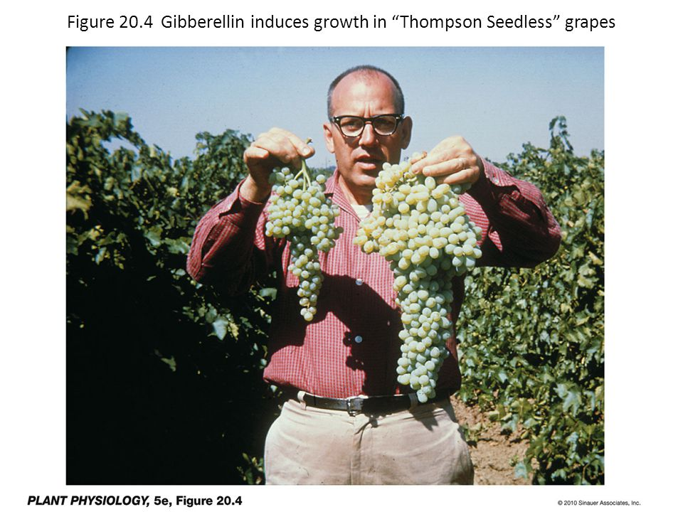"Figure 20.4 Gibberellin induces growth in ""Thompson Seedless"" grapes"